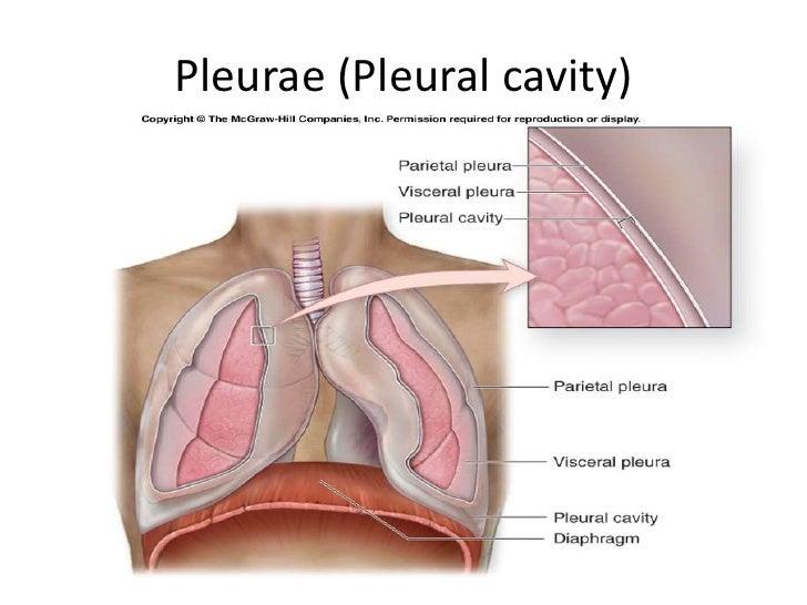 Pleural cavity anatomy