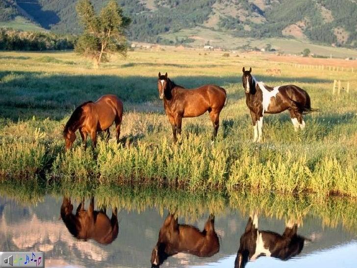 Chevaux   Cavalos