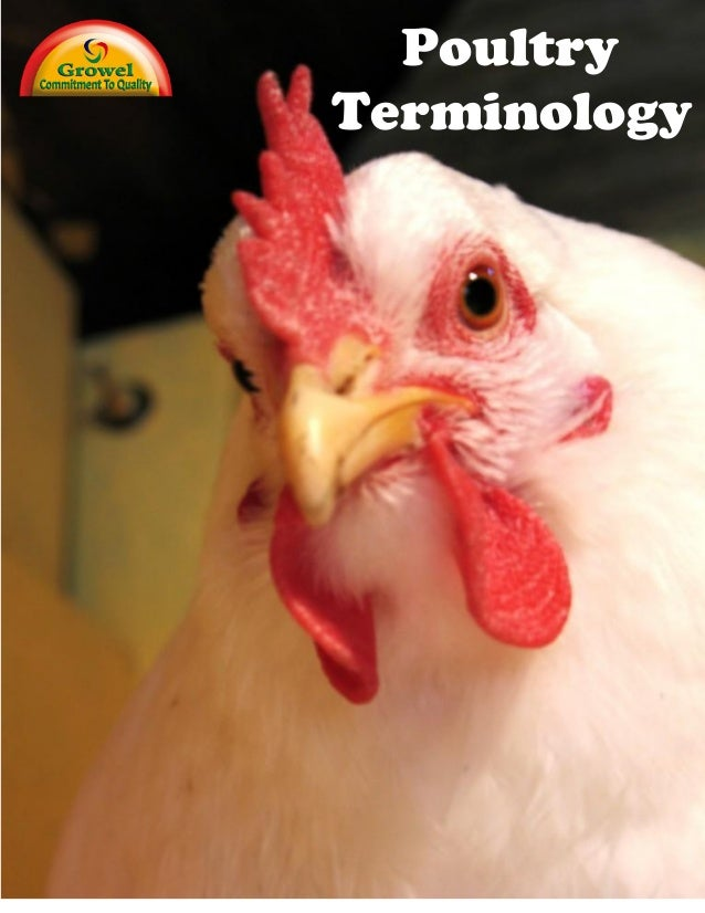 Chicken Terminology  1  BANTAM: A small domestic chicken that is often a miniature version of a larger breed. BIDDY: Anoth...