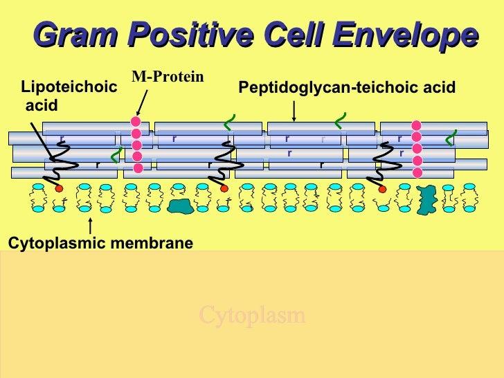 Gram Positive Cell Envelope Gram Positive Cell Envelope