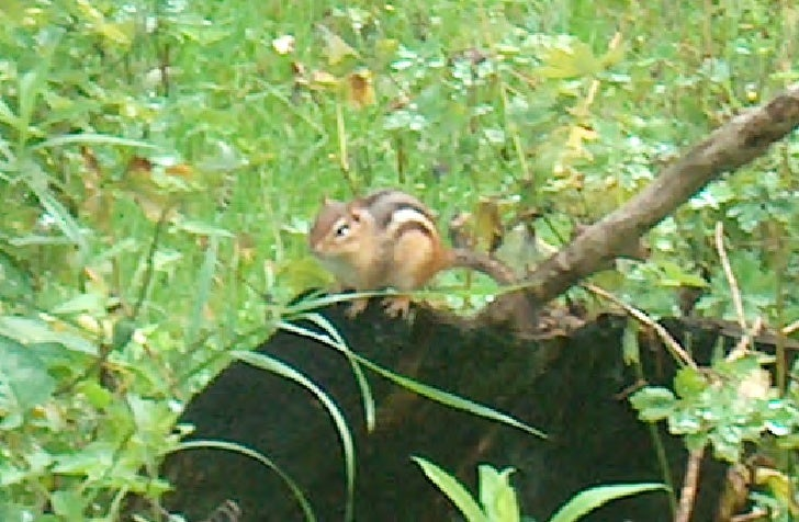Chipmunks watching over me