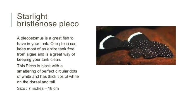 Turquoise bedding - Starlight Bristlenose Pleco Images Amp Pictures Becuo