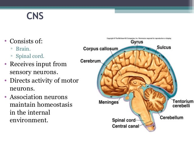 Chapter 22 Respiratory System 4 Controlandadjustments besides Acetylcholine Cognitive Function further Cognitive Control additionally Medulla Reticular Formation besides 129272 Can Acupuncture Help Bulbar Palsy. on brain neural system