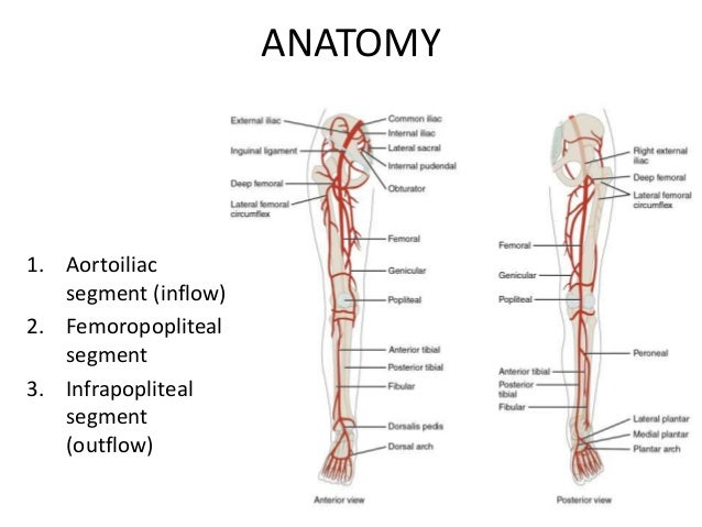 Definition of anterior in anatomy