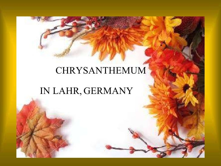 IN LAHR,   GERMANY CHRYSANTHEMUM