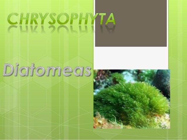 Clasificación       Enlos esquemas moleculares de       clasificación, estas algas están asociadas       a las estramenóp...