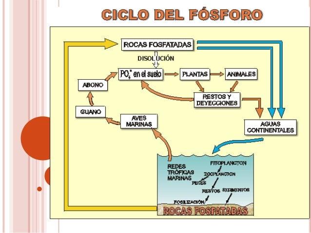 FUENTES DE FÓSFORO El principal pozo del fósforo son las rocas, elmaterial parental del cual deriva el suelo fósforo enfo...