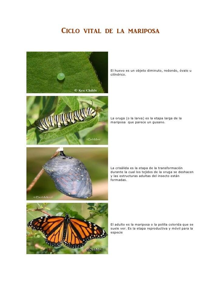 Ciclo vital de una mariposa
