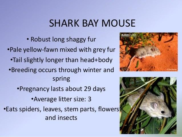 Shark Bay Mouse Shark Bay Mouse• Robust Long