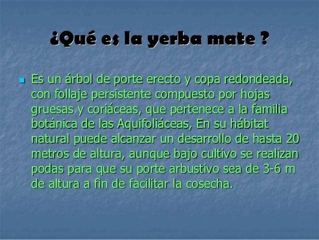 Circuito Productivo De La Yerba Mate : Circuito productivo de la yerba mate º técnica