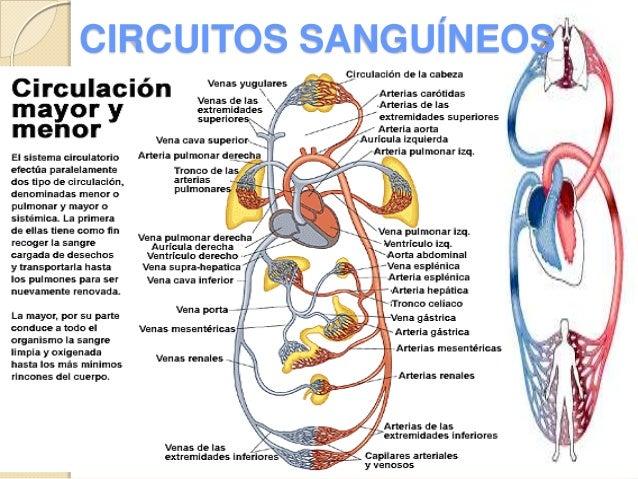 Circuito Sanguineo : Circulacion sistemica