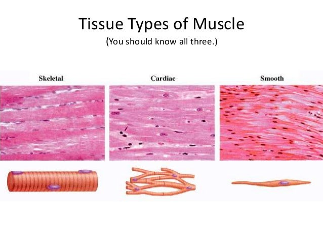 three types of muscle tissue Three types of muscle tissues directions: look at the following pictures of the 3 types of muscle tissues color in the different types and observe the.