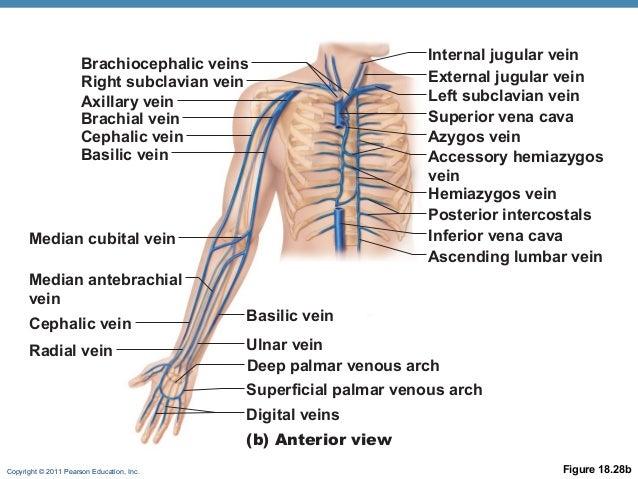 cephalic vein branches – applecool, Cephalic Vein