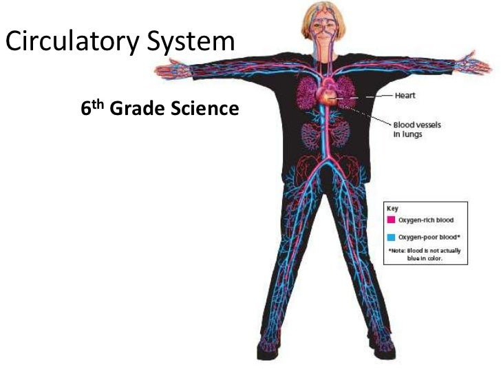Go Back > Pix For > Circulatory System For Kids Grade 5
