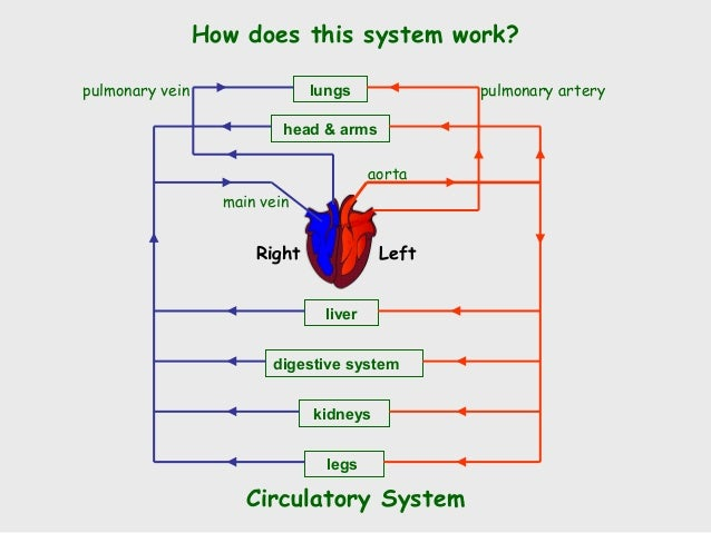 Vascular Wire Model moreover Circulatory System Pdf additionally Normal Newborn as well Circulatory Changes During Exercise together with Cardiogenic Pulmonary Oedema. on circulatory system heart