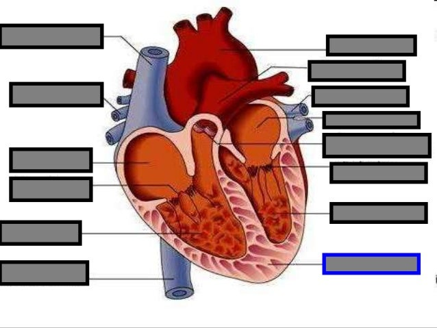 Human Heart Visual Quiz PowerPoint, Parts of the Heart ...