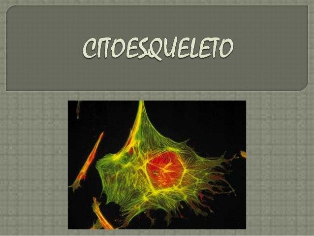 Citoplasma ou hialoplasma é um fluído viscoso, porém não possui consistência amolecida.