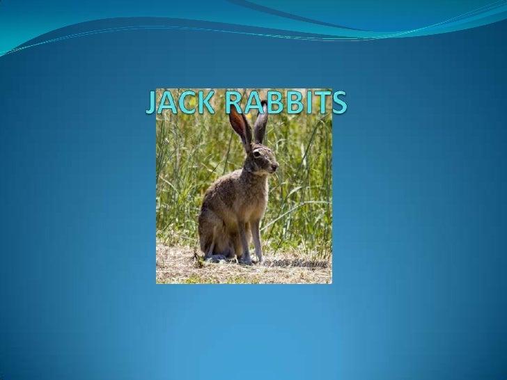 JACK RABBITS<br />