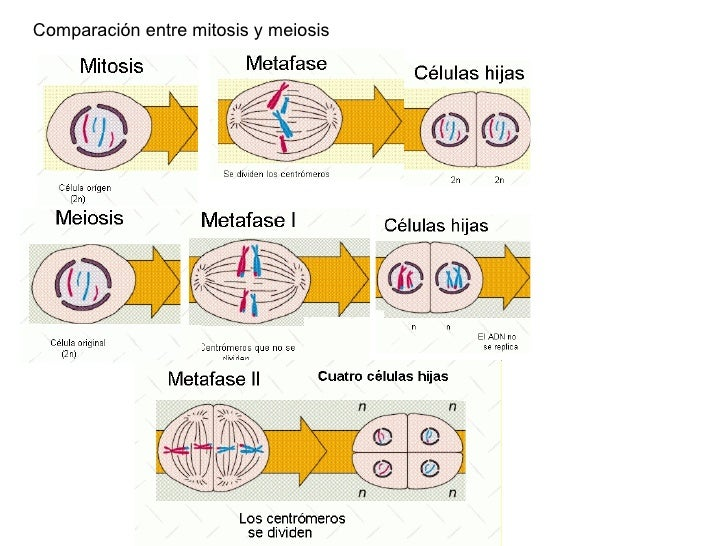 mitosis meiosis brochure Genetic disorder brochure project (modified from a project found on the robbinsdale school district website) overview create a tri-fold brochure for a doctor's.