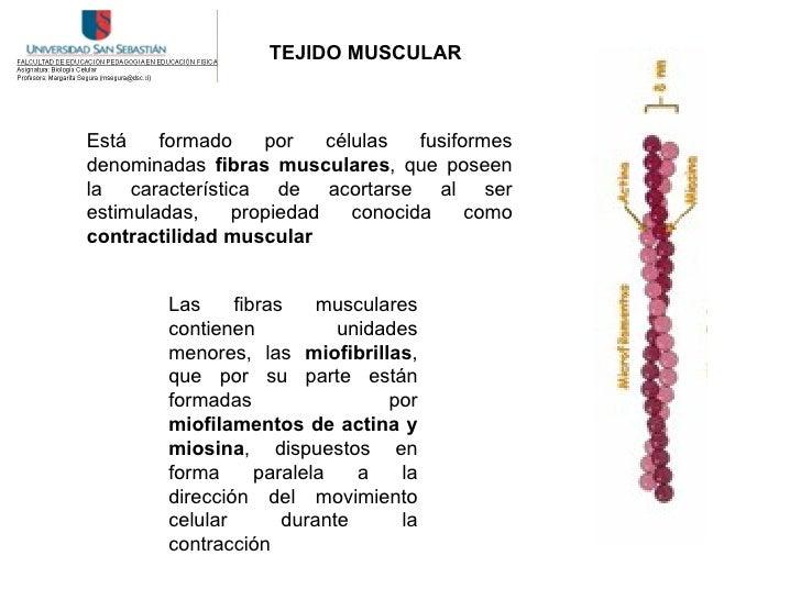 TEJIDO MUSCULAR    Está    formado   por    células   fusiformes denominadas fibras musculares, que poseen la característi...