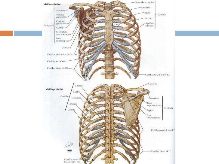 Bonito Anatomía Caja Torácica Macho Adorno - Anatomía de Las ...