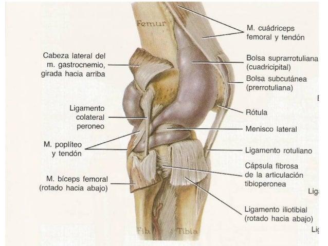 Anatomia rodilla - Dolor en la parte interior de la rodilla ...