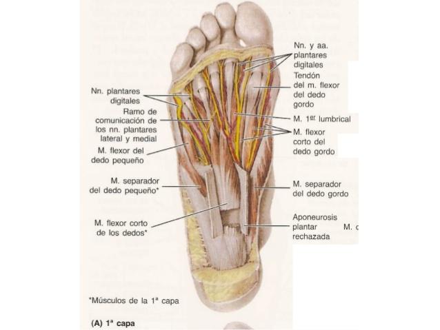 anatomia-el-pie-12-638.jpg?cb= ...