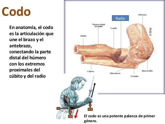 Codo                                       Radio En anatomía, el codo es la articulación que une el brazo y el antebrazo, ...