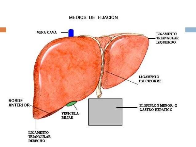 Rganos del cuerpo humano thinglink for En k parte del cuerpo esta el higado