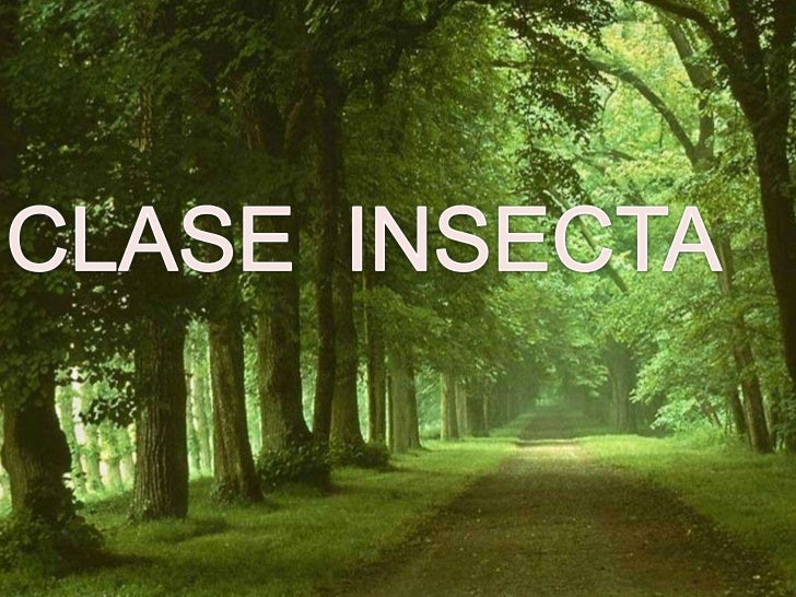 CLASE  INSECTA<br />