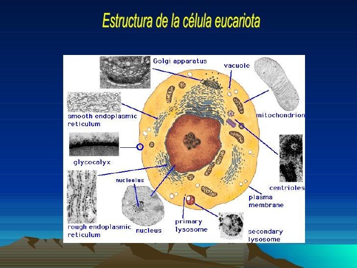 Nucleoide    Citoplasma                                   MembranaCápsula                                    celular      ...