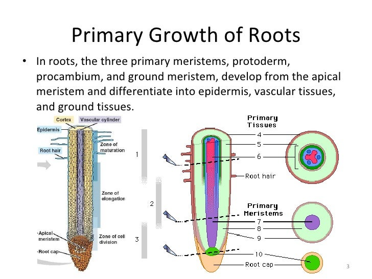 Primary Growth of Roots  Labeling Primary Growth Structures Ground Tissue