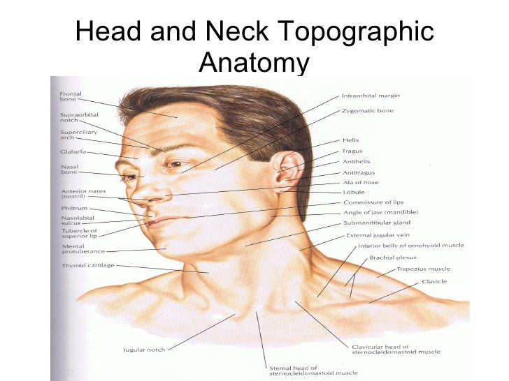 Under chin anatomy