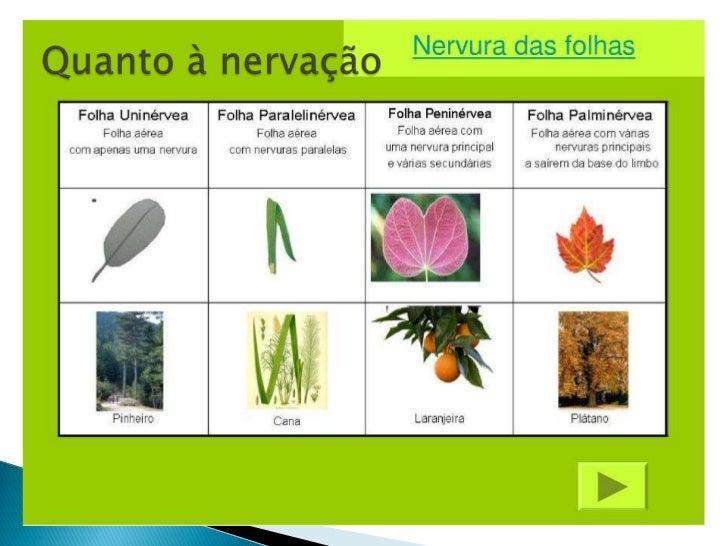Classificação das folhas características e tipos ii