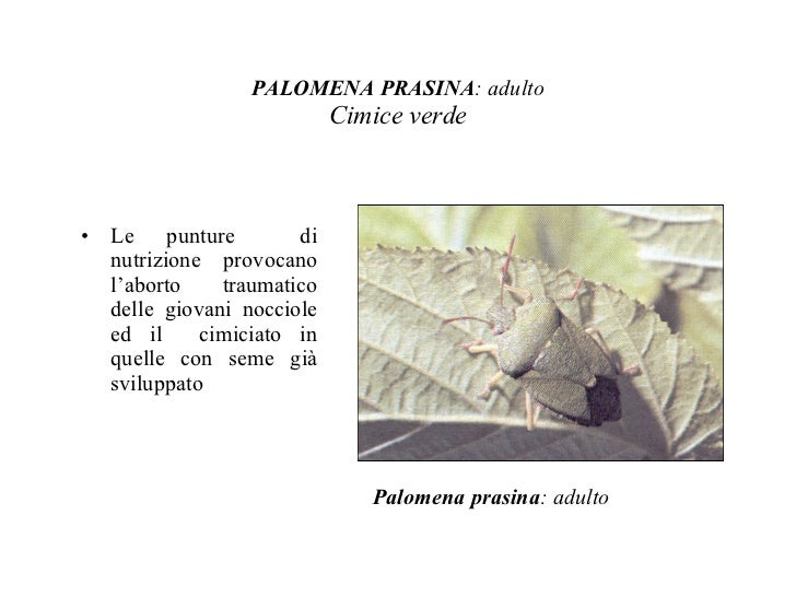 Classificazione degli insetti - Cimice del pomodoro ...