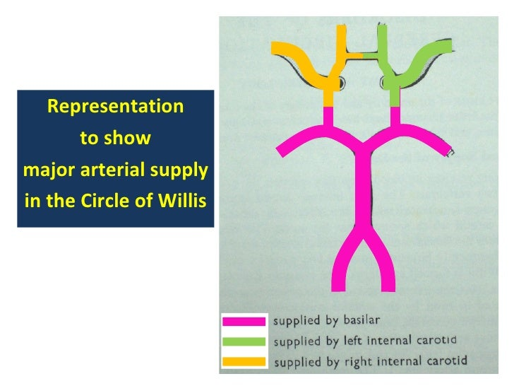 Anatomy of the circle of willis