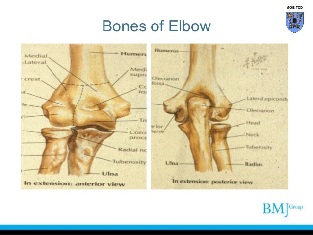Anatomy of the wrist tendons