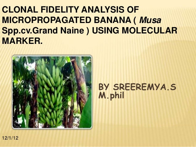 BY SREEREMYA.S M.phil 12/1/12 CLONAL FIDELITY ANALYSIS OF MICROPROPAGATED BANANA ( Musa Spp.cv.Grand Naine ) USING MOLECUL...