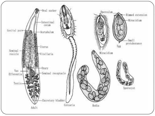 Clonorchis Sinensis Distribution Mild Clonorchis Sinensis