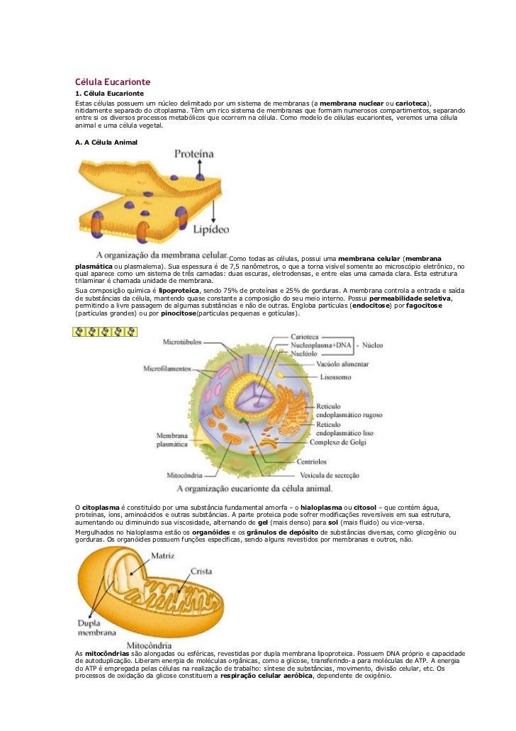 Célula Eucarionte1. Célula EucarionteEstas células possuem um núcleo delimitado por um sistema de membranas (a membrana nu...