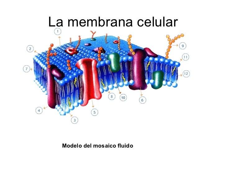 C lula eucariota membrana y organelos for Pared y membrana celular