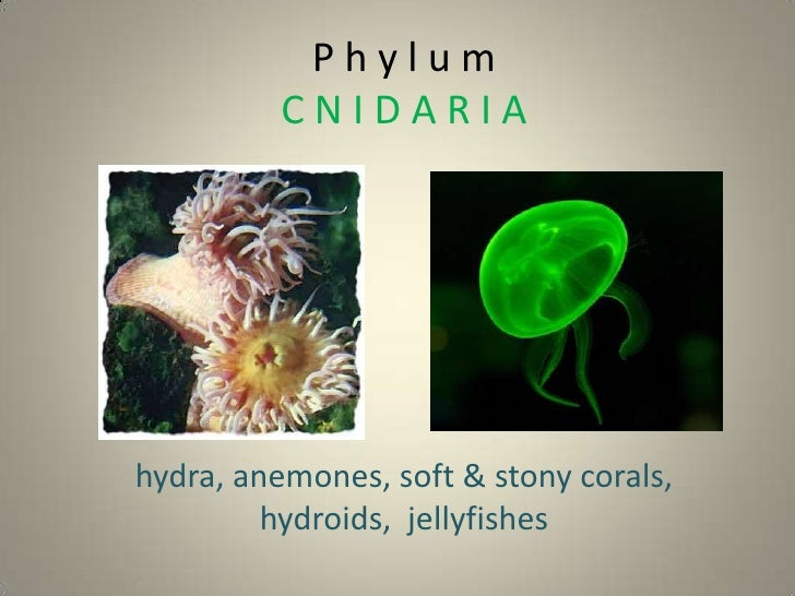 Phylum          CNIDARIAhydra, anemones, soft & stony corals,         hydroids, jellyfishes
