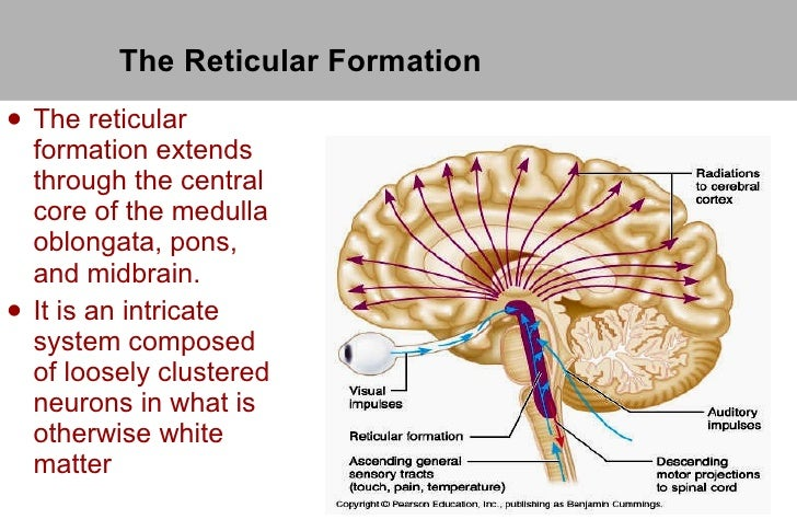 function of the reticular formation The reticular formation is a cluster of nerves within the brainstem that relay sensory and motor signals to and from the spinal cord and the brain it aids in the control of autonomic and endocrine functions, as well as muscle reflexes and sleep and awake states.