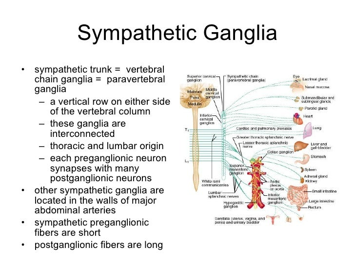 The Autonomic Nervous System (Integrative Systems) Part 1