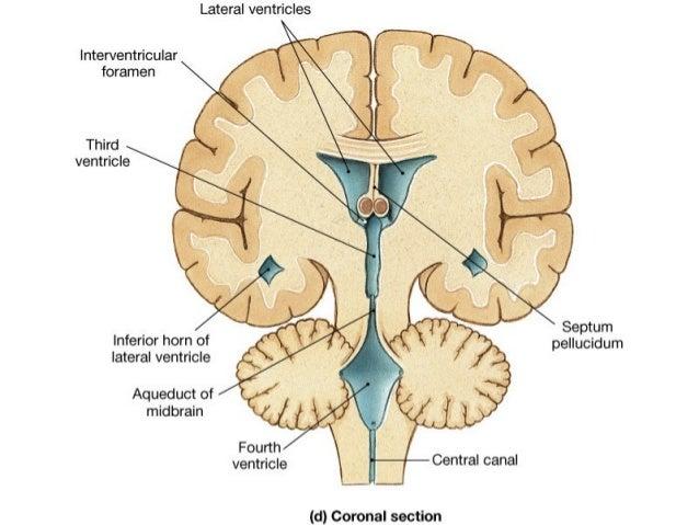 Cns Brain Spinal Cord Keep Brain Spinal Cord Moist