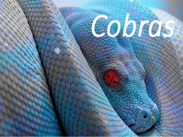 Cobras venenosas Classificar as cobras ou serpentes mais venenosas do Brasil é um assunto um pouco complexo, pois temos de...