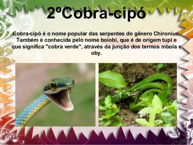3º Caninana Caninana característica da América Central e América do Sul. A caninana pode atingir cerca de 4 metros de comp...