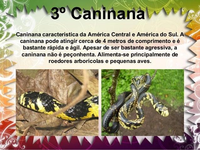 4º Muçurana Sua dieta é composta de cobras não peçonhentas e cobras peçonhentas como jararacas, cascavéis etc. Ao serem de...