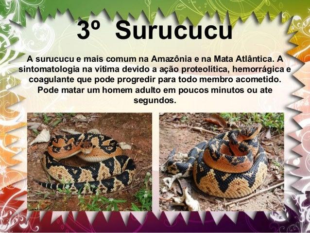 4º cascavel A cascavel é facilmente identificável pelo chocalho na ponta de sua cauda.A maioria das espécies de cascavel t...