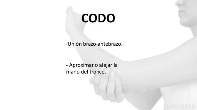 CODO  - Unión brazo-antebrazo.  - Aproximar o alejar la  mano del tronco.
